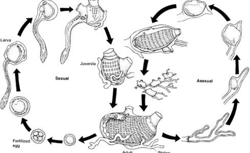 原索動物の構造と生態-ホヤ・ナメクジウオ-