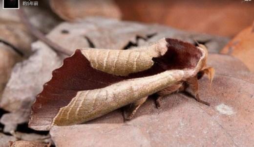 くるっと丸まった枯葉を表現する蛾の擬態がすごい