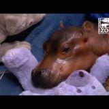 最も危険な動物であるカバの赤ちゃんは天使級に可愛い!!