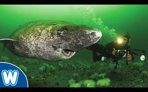 Sienceにも掲載された推定512歳のニシオンデンザメが長生きすぎてすごい!!