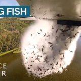 空から生きている魚をばら撒くダイナミックな放流がすごい!!