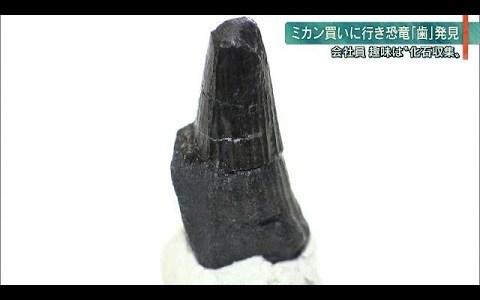 【ニュース】ミカンを買いにでかけてたまたま石を蹴ったらスピノサウルスの歯の化石をゲットした