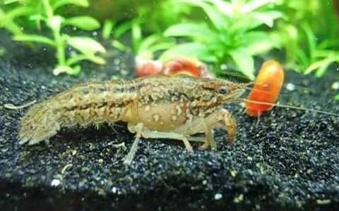 【ニュース】単為生殖によって自らのクローンを作り続けるザリガニ「ミステリークレイフィッシュ」が特定外来生物に指定される