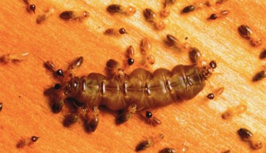 【Q&A】最も寿命が長い虫は何?