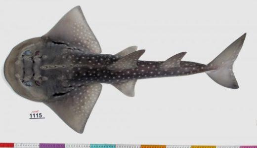 【Q&A】シノノメサカタザメはサメなの?エイなの?