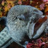 ウニを食べることができる生物っているんだ…おそるべしオオカミウオ