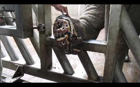 ゾウの足の裏についたゴミ?(角質?)を豪快にとっていくきもちいい映像