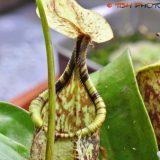 ウツボカズラの捕虫袋が形成されていく過程を撮影してみた