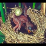 生まれたばかりのカッコーの赤ちゃんが他の鳥の卵を巣から必死に落とす映像