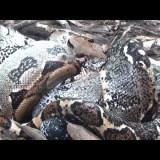 自分の頭よりも大きいイグアナの頭を巧みに飲み込んでいくボア(ヘビ)の映像