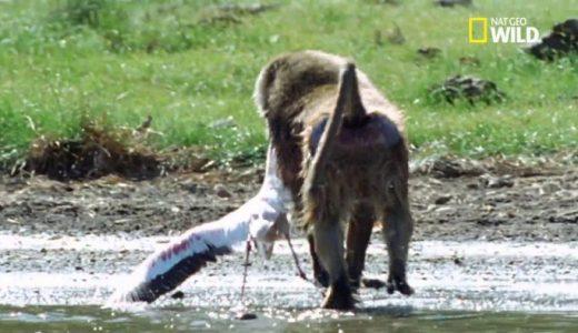 ヒヒがフラミンゴを襲撃し見事成功する様子を撮影してみた