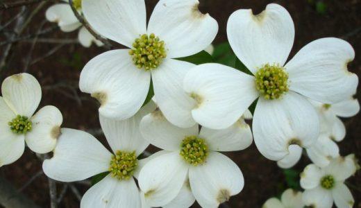 【Q&A】ハナミズキの花の白い部分は花びらではないって本当?