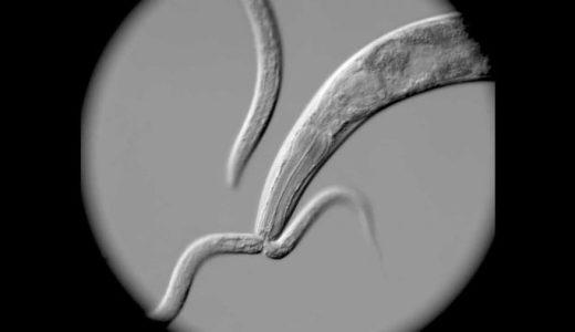 線虫(P. pacificus)が線虫(C. elegans)を食べる様子を撮影してみた