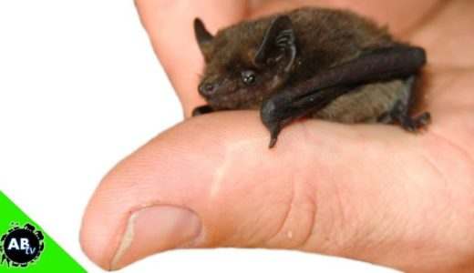 世界で一番小さなコウモリ「キティブタバナコウモリ」がかわいすぎる!