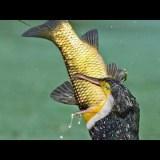 巨大な魚を一飲みにしてしまうナンベイヒメウがすごすぎる
