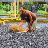 【インド】ナマズの養殖場の1匹あたりに対する面積が狭すぎる!!
