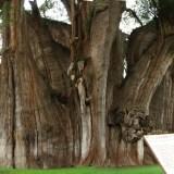 【Q&A】世界で一番太い木「メキシコヌマスギ(トゥーレの木)」ってどんな木?