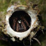 ジグモが巣から突然飛び出して狩りをする様子を撮影してみた
