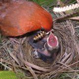 【閲覧注意】綺麗好きなショウジョウコウカンチョウがヒナの出す糞尿を食べる