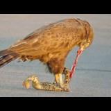 【閲覧注意】ワシがヘビを捕らえて貪り食べる様子を撮影してみた