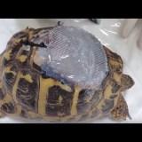 甲羅が損傷してしまったリクガメを治療する映像