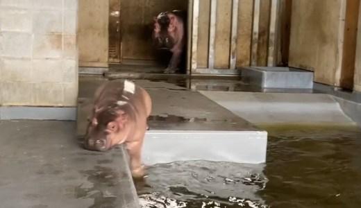 飼育員が大好きすぎる子カバのかわいすぎる映像