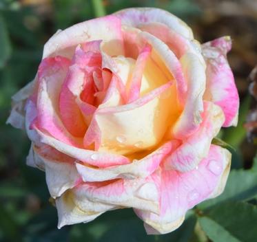 Daftar Bunga Mawar Terpopuler di Masyarakat