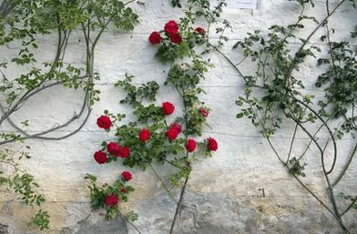 Sejarah Mawar Merambat Ditemukan di Dunia