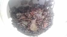 国産紅茶20130910八女紅茶3