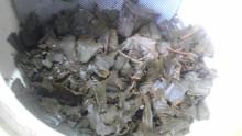 国産紅茶20130916おごせ茶園3