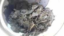 国産紅茶20131031水車むら紅茶五月3