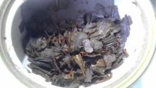 国産紅茶20131129水車むらべにひかり3