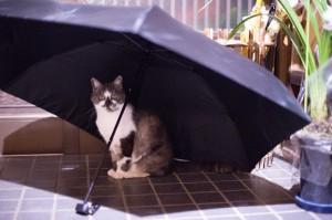 ネコが梅雨をお知らせします。