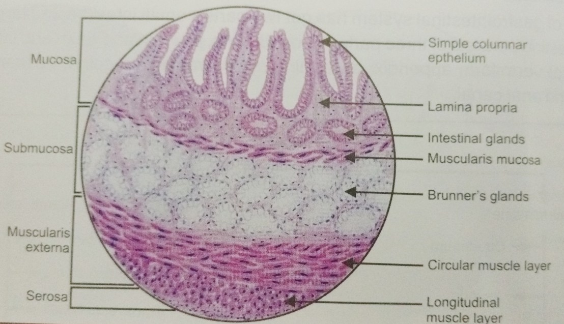HISTOLOGY OF DUODENUM – MANAGE YOUR TIME 1996