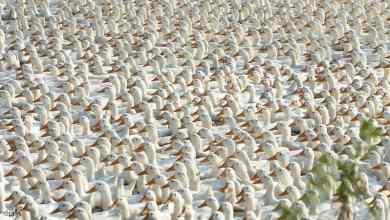 الصين ترسل فيلقا من الطيور لأكل الجراد