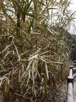 snowy bamboo