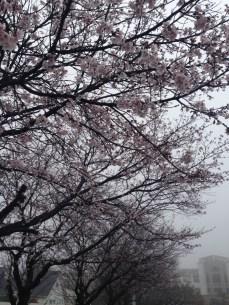 Sakura on a gray day