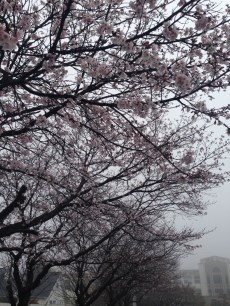 Sakura on a gray day