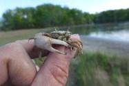 Male sand fiddler crab, Uca pugilator, Goodwin Islands, Virginia