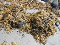 Rocks shaggy with rockweed (Fucus sp).