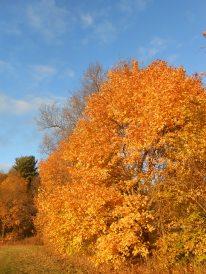 Sugar maple, Acer saccharum, Newbury, Massachusetts