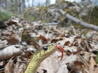 Common Garter Snake, Thamnophis sirtalis, Newbury, Massachusetts (6)