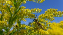 A soldier beetle stretches for the next flower