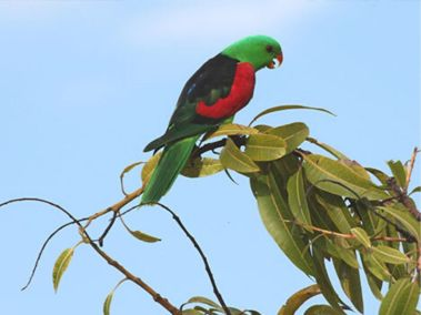 Red winged parrot at Manbulloo Homestead Caravan Park