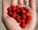 morangos silvestres wild strawberries