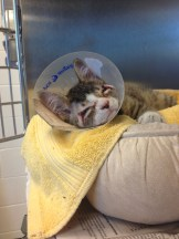 AFTER - Just after his surgery and Phil is looking better by the hour (credit MSPCA-Angell)