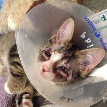 AFTER - Phil is recovering and will soon be placed back with his feline best friend (credit MSPCA-Angell)