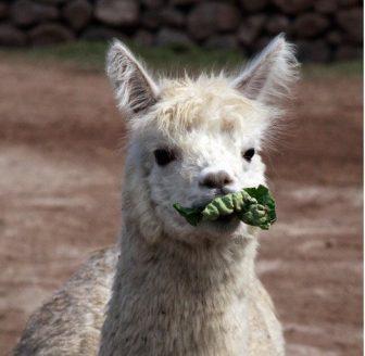 llama-eating-lettuce-3-large