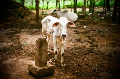 Cattle in Bagan