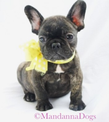 Brindle French Bulldog
